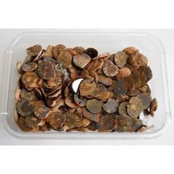 Fósil Ammonite pulido de...